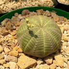 Euphorbia obesa subsp. symmetrica