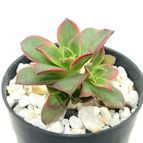 Aeonium haworthii cv kiwi