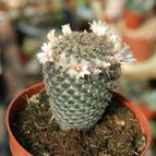 Mammillaria pseudocrucigera