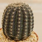 Echinopsis densispina