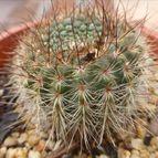 Parodia concinna ssp. agnetae