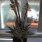 CactuseroJunior