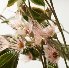 eucalyptus zoom
