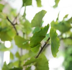 lou de castellane ginko tree follage