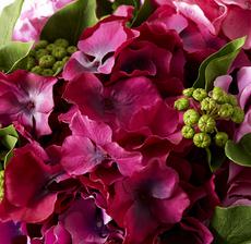 hortensia fuschia zoom