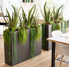 lou de castellane aloe, succulent and vegetal plant