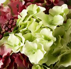 hortensia vert zoom
