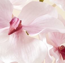 orchidee zoom