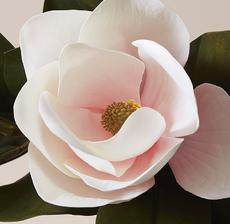 magnolia zoom