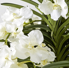 orchidee zoom blanche