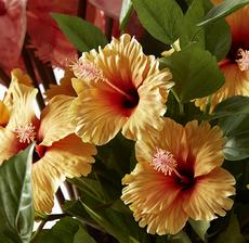 hibiscus orange zoom