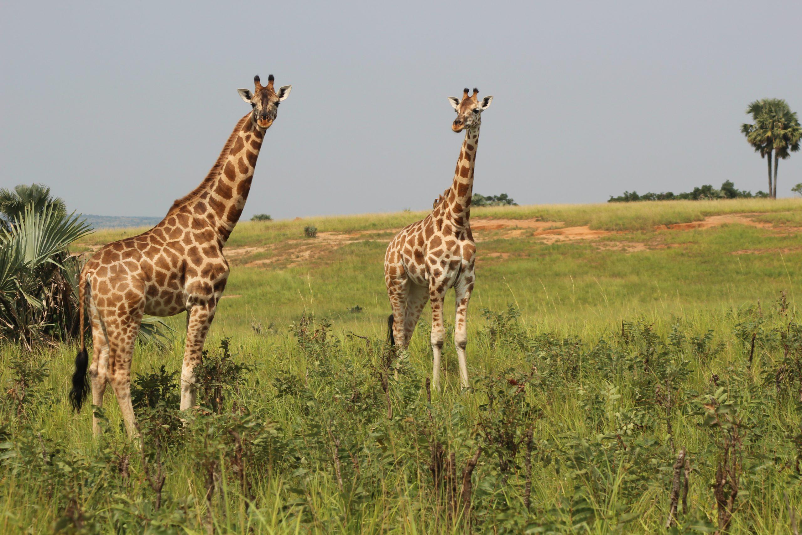 school_expedition_tanzania_impact_giraffe_pair
