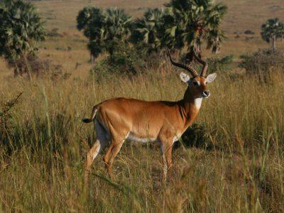 school_expedition_uganda_trek_impala_on_safari