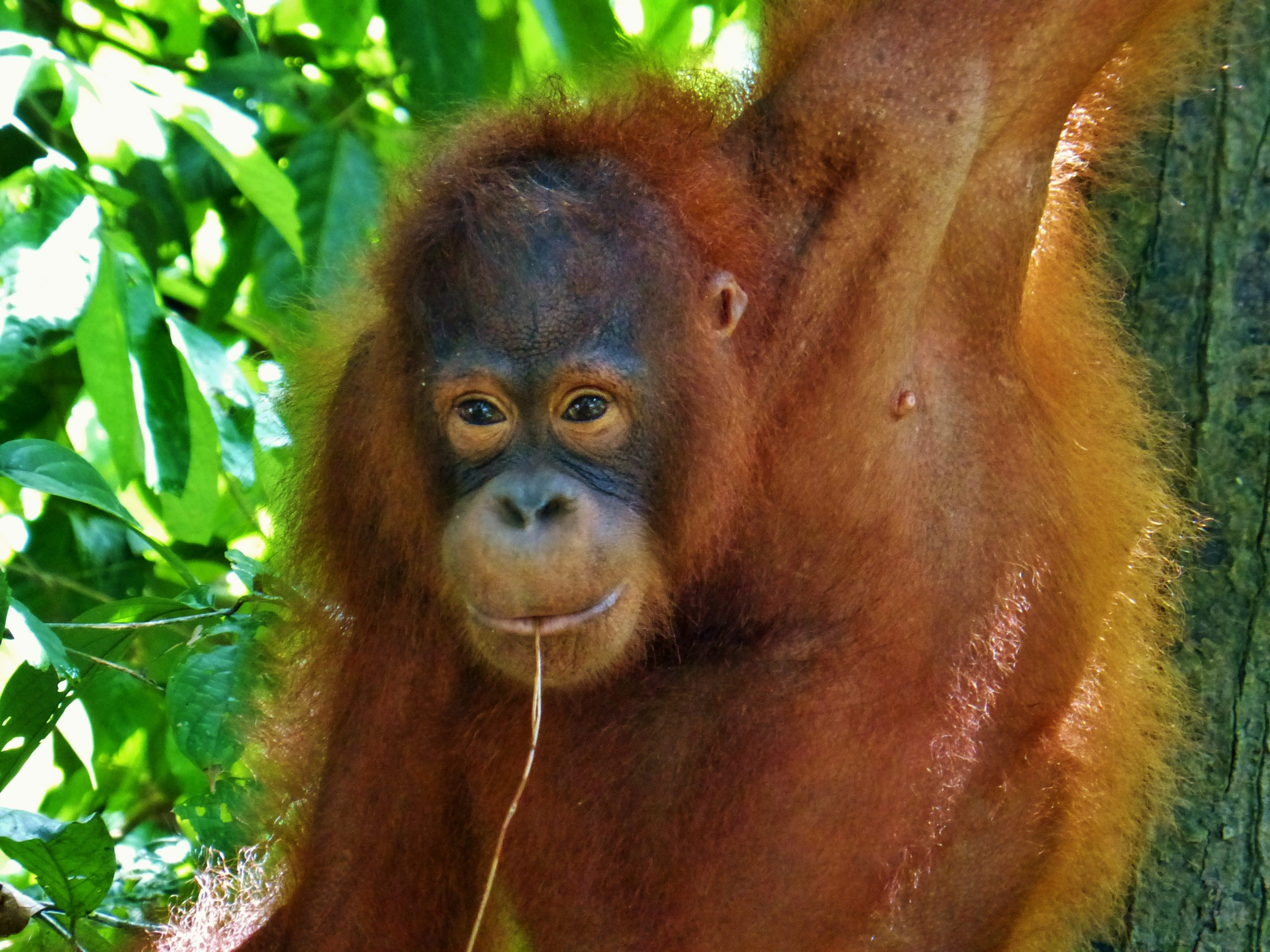 school_expedition_borneo_trek_orangutan_sepilok