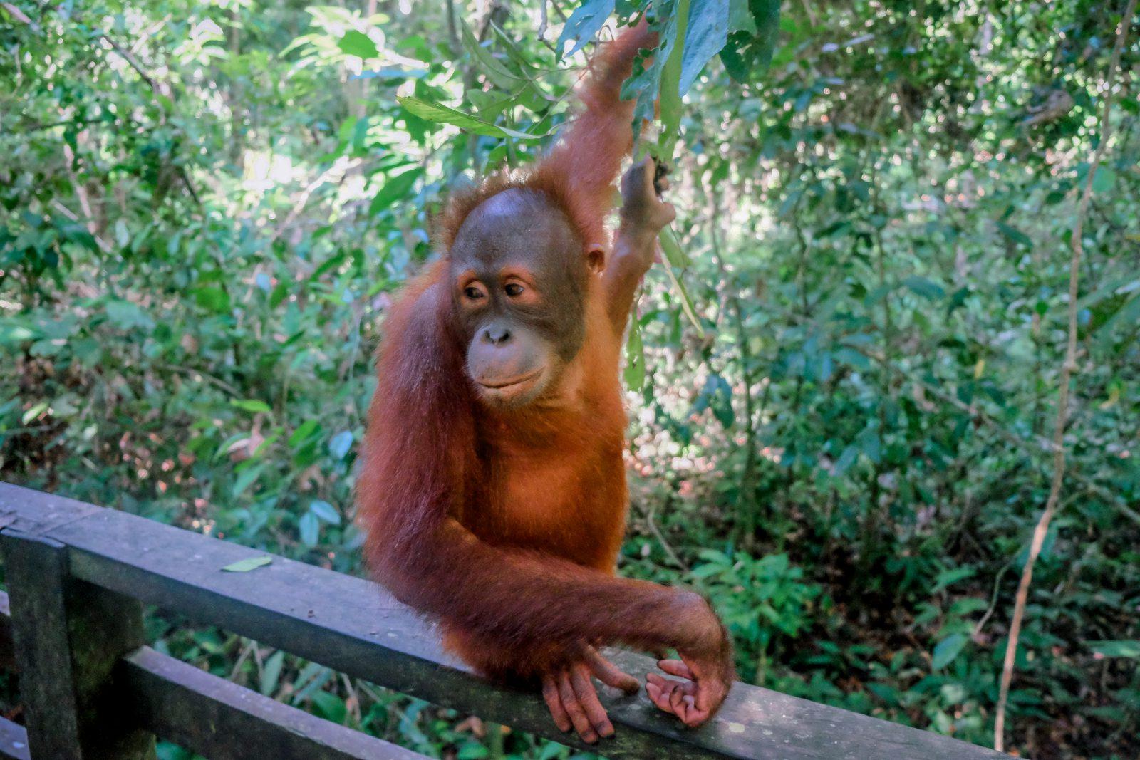 camps_international_orangutan_at_sepilok-2