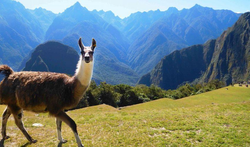school_expedition_peru_trek_mountain_llama