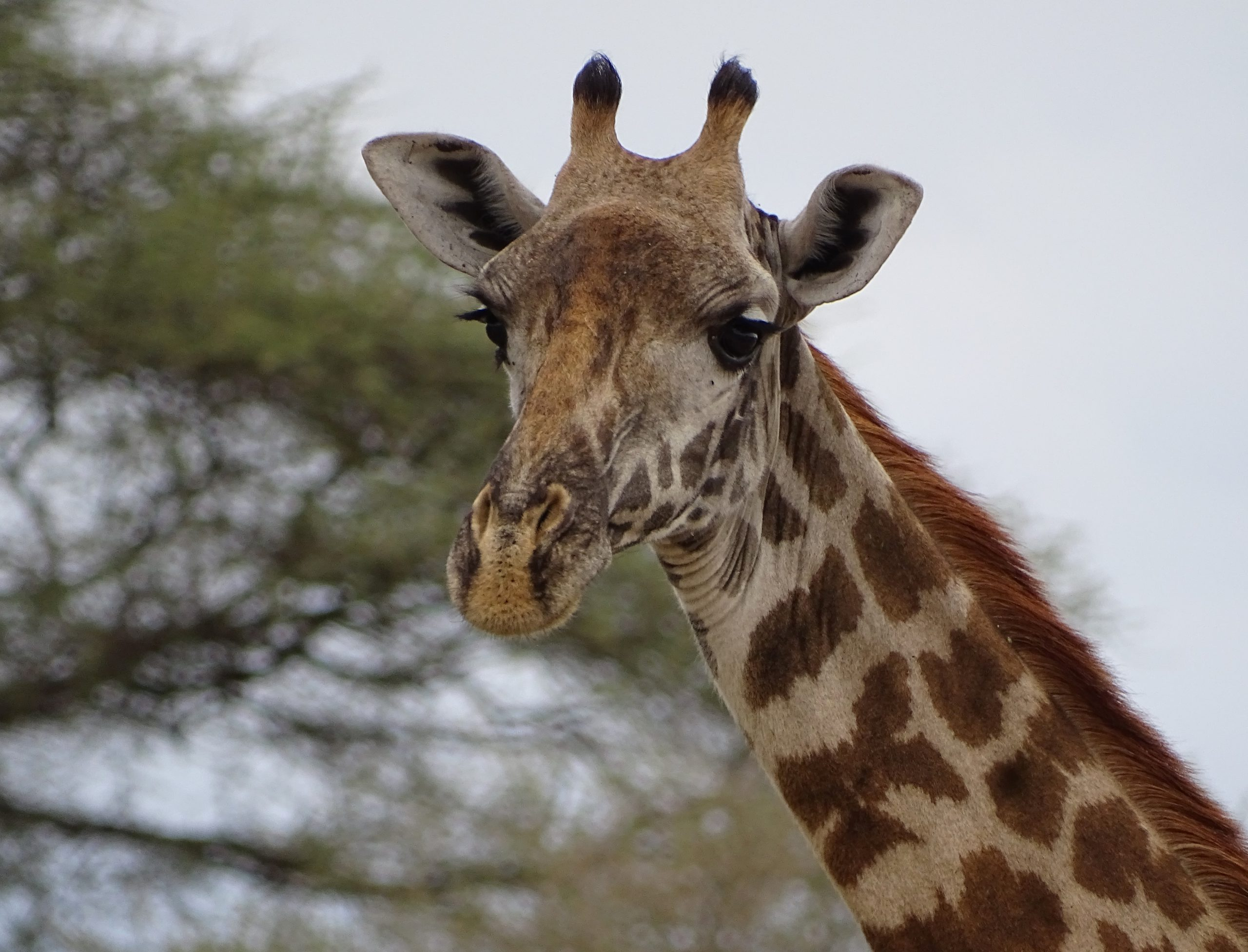 school_expedition_tanzania_trek_giraffe_on_safari