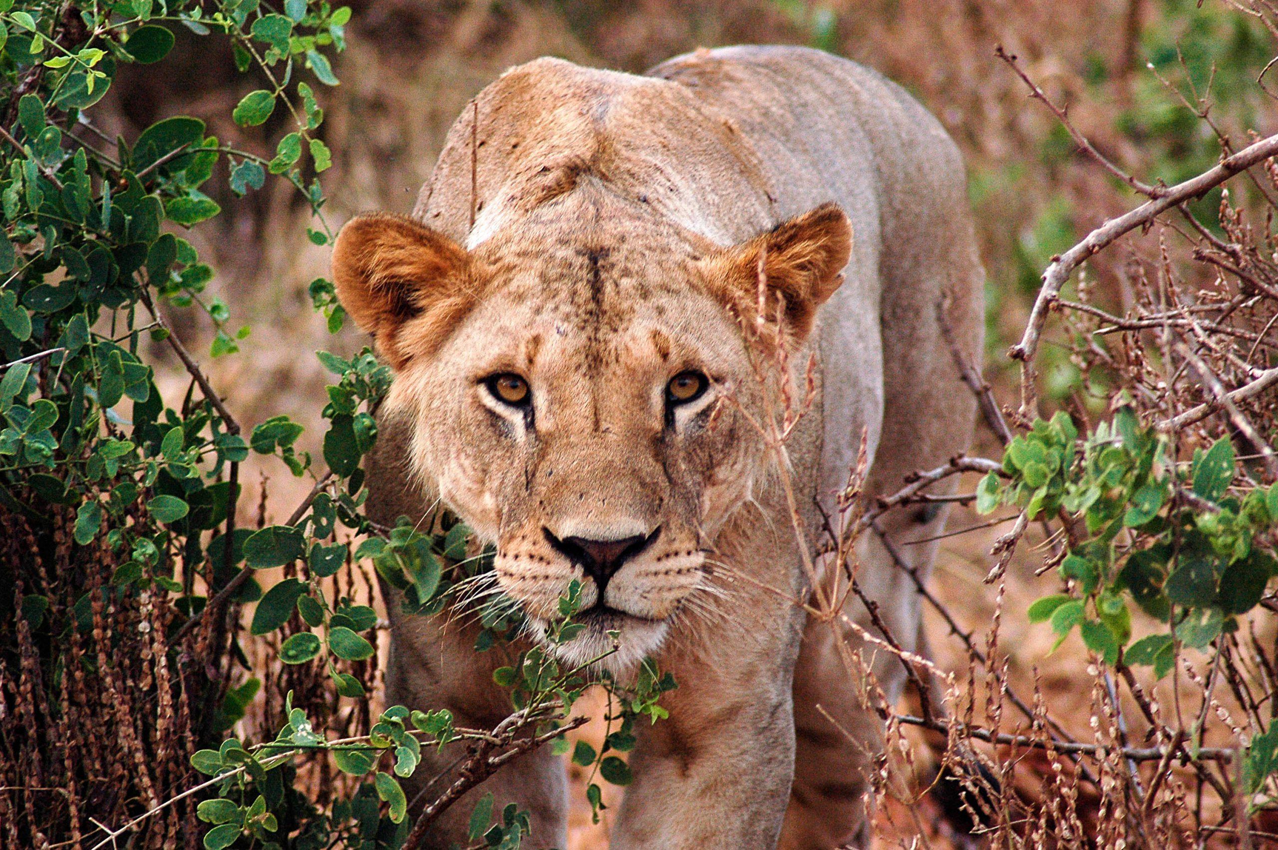 school_expedition_kenya_trek_lion_on_safari