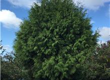 Conifer reduction
