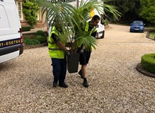 moving a 9ft tall palm plant