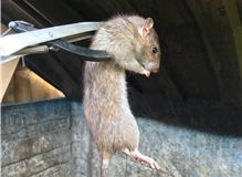 Live Rat Caught In A Bin