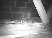 Brown rat investigates trap