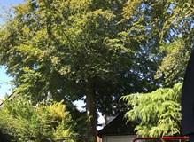 Beech Tree.