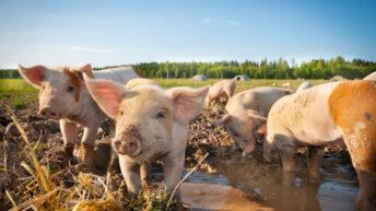 QMS announces changes to pig assurance scheme standards