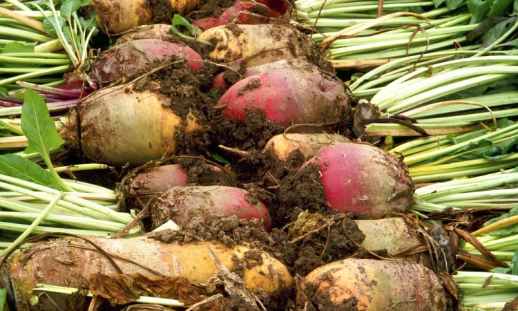 British Sugar and NFU Sugar announce 2019 sugar beet price