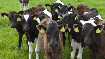 Calf rearing and antibiotics