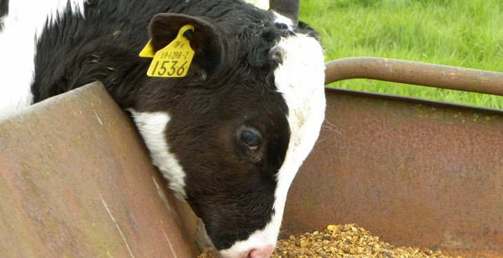 Farmers still trying to rear BVD positive calves despite 80% failing