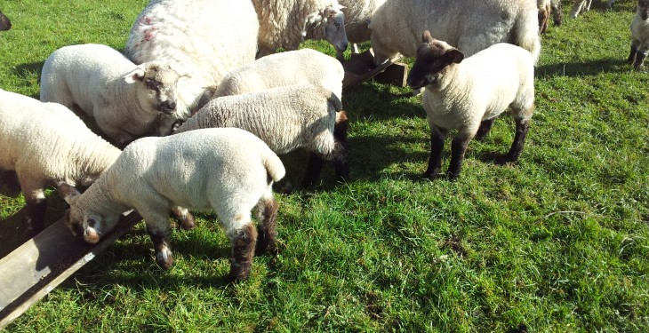 'Lambs with scour on fresh grass is usually a sign of a parasitic infection'