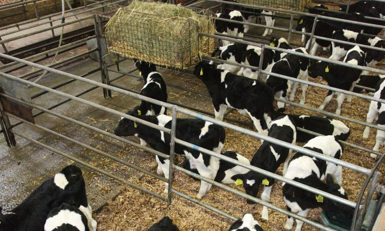Using transition milk – the next essential feed after colostrum