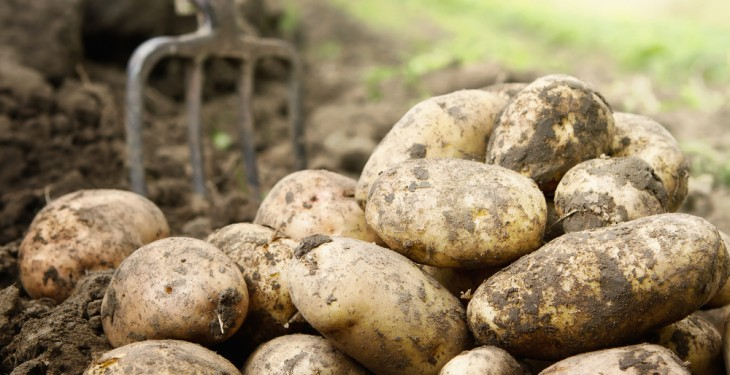 Irish potatoes could be exported to UK and Europe over the coming days