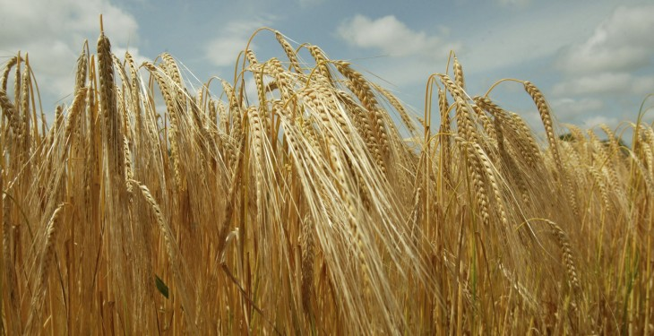 AHDB's £60,000 BYDV cereals research to begin