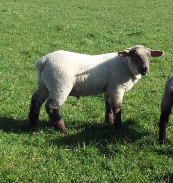 Lambs die after their ears are cut off in 'sick' attack