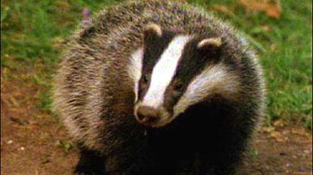 Coffee chain stops using milk from UK badger cull areas under pressure from protesters