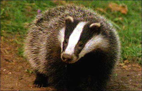 Badger culling to begin again in Northern Ireland