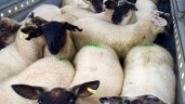 Prime sheep prices under seasonal pressure after Ramadan