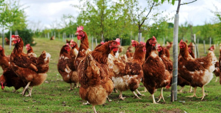 Global poultry industry shaken by bird flu situation – Rabobank