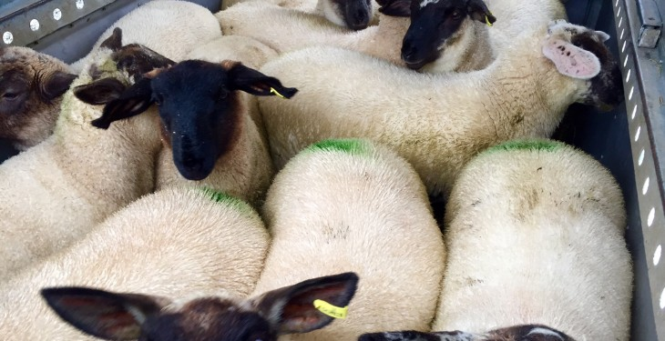 Stolen lambs warning: poisonous to eat
