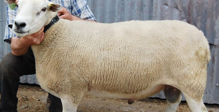 5 things to check on your ram before breeding season