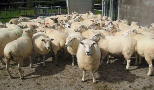 Australian sheepmeat production to fall this year, but demand to remain high
