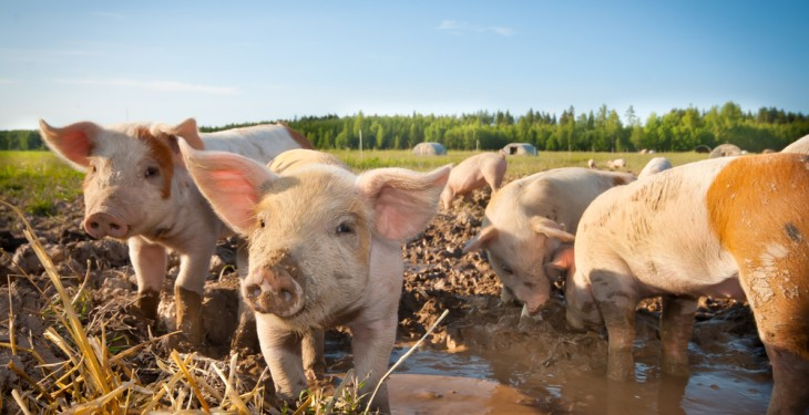 New UK border campaign tackles dangerous threat of African Swine Fever