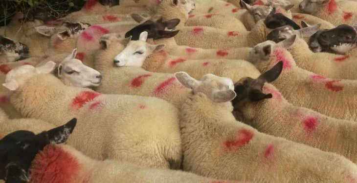 UK consumers ditch lamb at Easter, sales drop by 12%