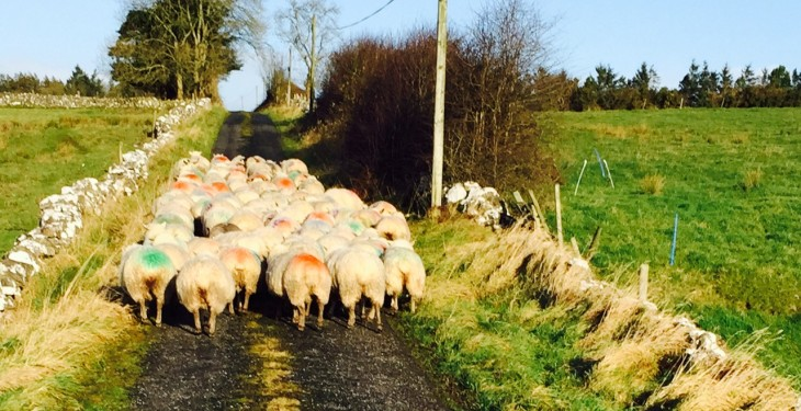 Throughput of lambs in the North 8% ahead of September 2014