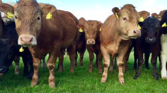 EU cattle herd increases for the fourth year in a row