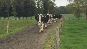 Low body condition score predisposes dairy cows to lameness
