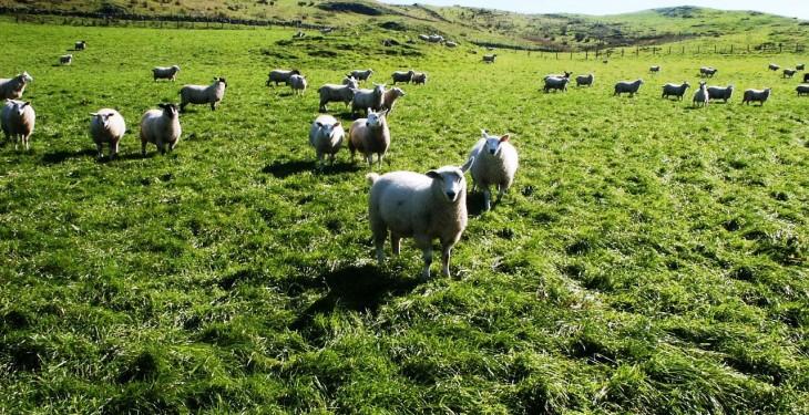 European sheep supplies set to remain tight in 2016 – AHDB
