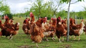 Poultry keepers told to be on alert as avian flu risk upgraded to 'medium'